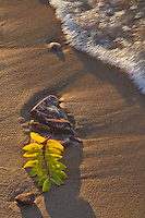 A Mountain Locust Leaf sits on the sand on the shore of Lake Superior waiting for a rushing wave to wash over it at Hurricane River Beach in Pictured Rocks National Lakeshore in Alger County in Michigan's Upper Peninsula