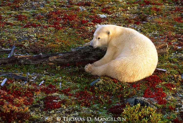 A polar bear rests on the autumn tundra in Churchill, Manitoba, Canada.