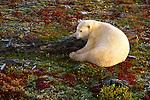 A polar bear rests on the autumn tundra in Churchill, Manitoba, Canada.