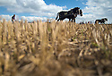 05/10/16 <br /> <br /> Andy Elms is led by his two Shire horses Toby and Magnus.<br /> <br /> Heavy horses compete to plough the straightest furrows at the 111th Brailsford Ploughing Match, near Ashbourne in the Derbyshire Dales.<br /> <br /> All Rights Reserved: F Stop Press Ltd. +44(0)1773 550665   www.fstoppress.com