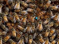 """Brother Adam from Buckfast Abbey in England was one of the pioneers in the hybridization of bees. He developed this hybrid bee to obtain """"the ideal bee"""". At the time, it was a question of improving the local race decimated by the Isle of Wight disease (caused by Acaparis woodi). Today, the beekeepers pursue his methods in order to find an excellent foraging bee, clean, not very aggressive and also with a lower propensity for swarming. The Buckfast is thus the result of a hybridization that professionals consider a success.- Le frère Adam de l'abbaye de Buckfast en Angleterre a été un des pionniers de l'hybridation chez les abeilles. Il développa cette abeille d'hybride pour obtenir « l'abeille idéale ». A l'époque il s'agissait d'améliorer la race locale décimée par la maladie de l'île Wight (causée par Acaparis woodi). De nos jours, les apiculteurs poursuivent ses méthodes afin de trouver une abeille excellente butineuse, propre, peu agressive et aussi peu essaimeuse. La buckfast est donc le résultat d'une hybridation considérée comme réussie par les professionnels."""