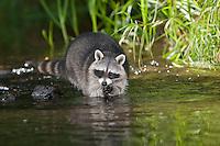 """Waschbär, etwa 6 Monate altes Jungtier im und am Wasser, Männchen, Rüde, Waschbaer, Wasch-Bär, Procyon lotor, Raccoon, Raton laveur, """"Frodo"""""""