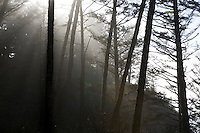 Sunlight streams through trees near Cape Disappointment on the Long Beach peninusla in Washington State Saturday Feb. 7, 2009.
