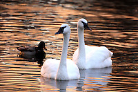 Swan Pair. I love this pair. I don't mind that they are centered as they are both looking different directions. It is the color of the water that really makes the shot!