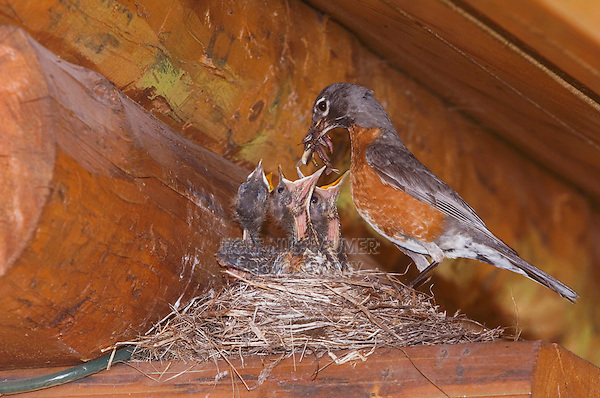 American Robin, Turdus migratorius, male with young on nest at Log Cabin, Glacier National Park, Montana, USA