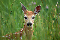 35-M07-DW-03    WHITE-TAILED DEER (Odocoileuis virginianus), fawn in tall grass, National Bison Range, Montana, USA.