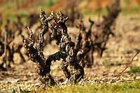 Fitou. Languedoc. Vines trained in Gobelet pruning. France. Europe. Vineyard.