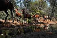 In the heat of the day, horses come to a water hole at the Wild Horse Sanctuary in Northern California. There are 300 horses on 5,000 acres of land procured to saved them from inhumane treatment or death.