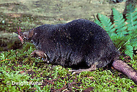 MB01-084z  Star-nosed Mole - adult searching for food - Condylura cristata
