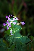 Four purple petals help identify wild radish blooming along the San Francisco Trail in San Leandro, California.