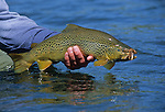 08735-C. A fly fisherman holds a brown trout that was caught on an Improved Sofa Pillow fly pattern (which imitates a Salmon Fly, a.k.a. Giant Stone Fly) on the lower Henry's Fork of the Snake River, Idaho.