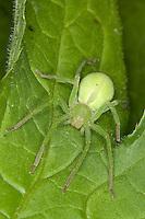 Grüne Huschspinne, Weibchen, Micrommata virescens, Micrommata rosea, Micrommata roseum, green spider, green huntsman spider