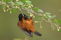 Male Orchard Oriole (Icterus spurius) feeding on wild gooseberry type plant,  Great Lakes region, Spring.