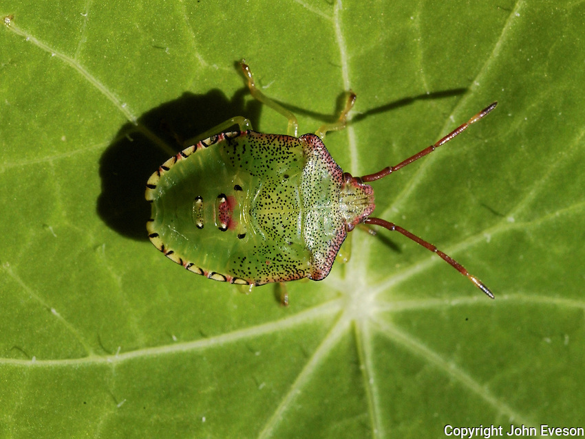 A Shield bug on a green leaf, Whitewell, Lancashire.
