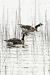 Canada Geese, Fern Hill Wetlands, Oregon