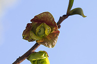 Dreilappige Papau, Dreilappiger Papau, Asimina triloba, Annonengewächse, Annonaceae, papaw, pawpaw, paw paw, paw-paw, common pawpaw, L'asiminier trilobé