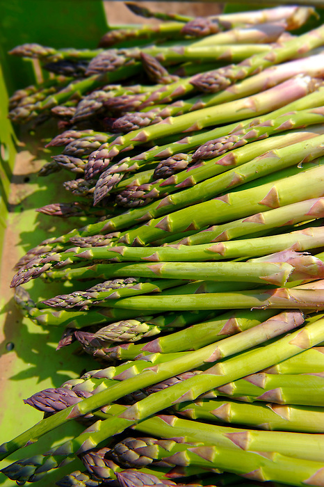 fresh asparagus spears just picked in an asparagus field