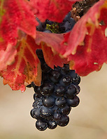 Fine art nature abstract of California dark blue grapes with red grape leaves still hanging from the vine, with one grape withering.