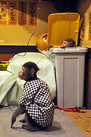 Fuku-chan, 6, (foreground) and his colleague Ya-chan (in bin) Japanese monkey waiters in an Izakaya bar in north of Tokyo, Japan. The six year old monkey looks after the guests hot towels by taking them from the steamer oven and delivering them to all guests. The bar is extremely popular amongst people from all over Japan who come to see the monkey waiters.