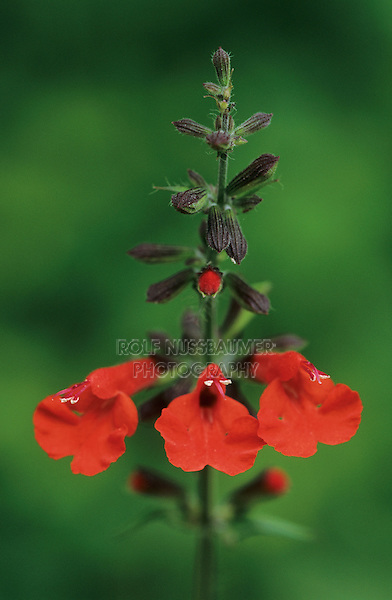 Tropical Sage, Salvia coccinea, blooming, Lake Corpus Christi, Texas, USA