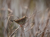 A Meadow Pipit {Anthus pratensis} Hunting Insects at Elmley Marshes, Isle of Sheppey, Kent