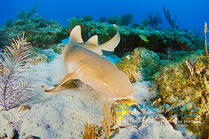 nurse shark, feeding on grunt, Ginglymostoma cirratum, Key Largo, Florida Keys National Marine Sanctuary, Atlantic Ocean
