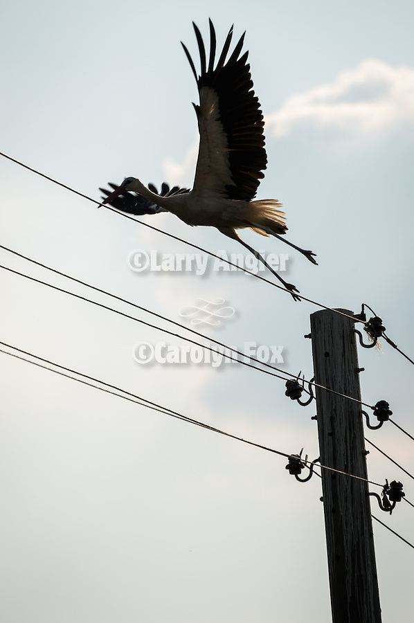A stork flies off from top of power pole, Mlekarovo, Bulgaria