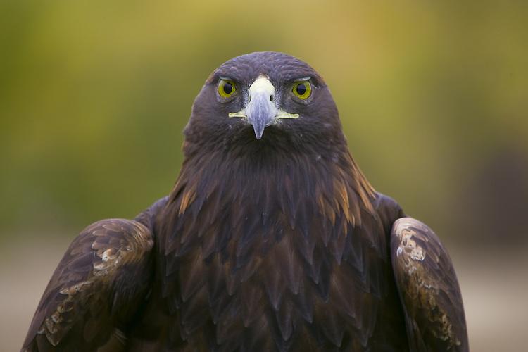 Golden Eagle (aquila chrysaetos) portrait made near Denver, Colorado, USA