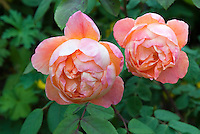Rose 'Lady Emma Hamilton' aka 'Ausbrother' showing two orange and red flowers in bloom