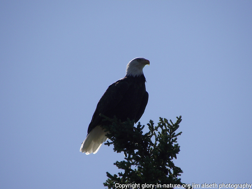 This bald eagle found a perch atop a spruce tree about 30 feet from my spot on the shore of Fish Lake, Alberta, near Nordegg.