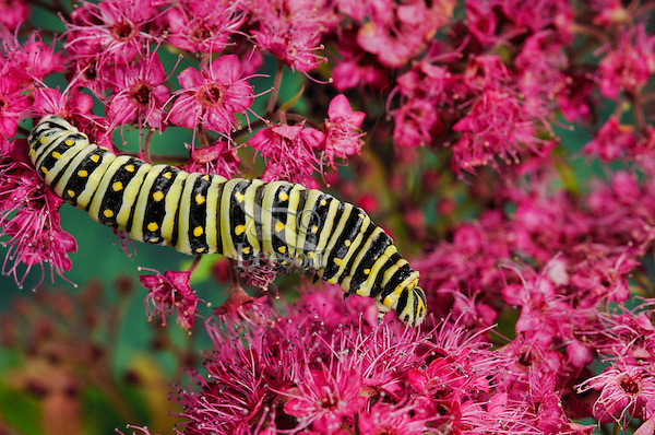 Eastern Black Swallowtail caterpillar (Papilio polyxenes asterius) on Swamp Miilkweed (Asclepias incarnata) blossoms. Summer. Nova Scotia, Canada.