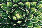 AZ, Tucson, Sonora Desert Museum, Queen Victoria's Agave (Agave victoriae regine)