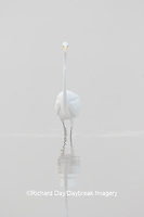 00688-02405 Great Egret (Ardea alba) in wetland in fog, Marion Co., IL