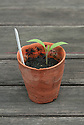Aubergine seedling in terracotta pot.