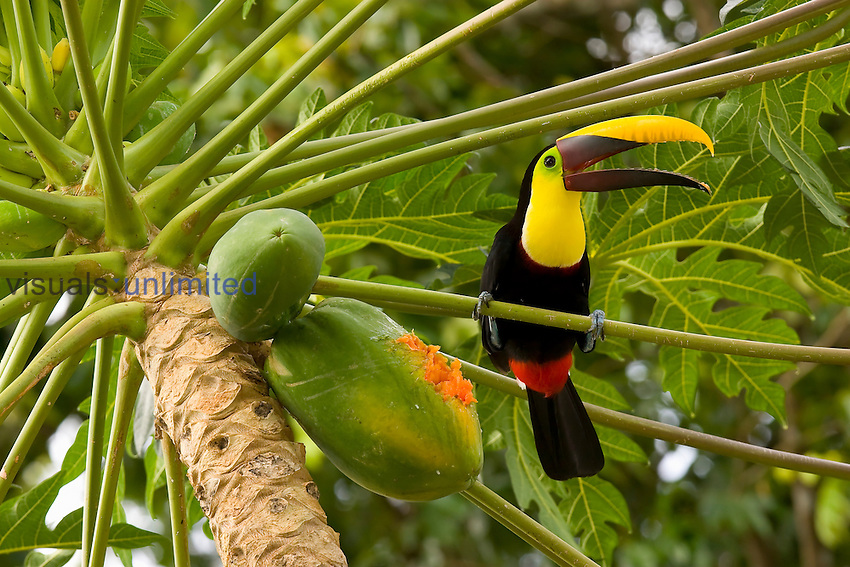 Chestnut-mandibled Toucan eating Papaya fruits (Ramphastos swainsonii), Costa Rica