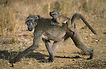 Chacma Baboon, Papio cynocephalus ursinus, carrying young, Hluhluwe Umfolozi Park, South Africa
