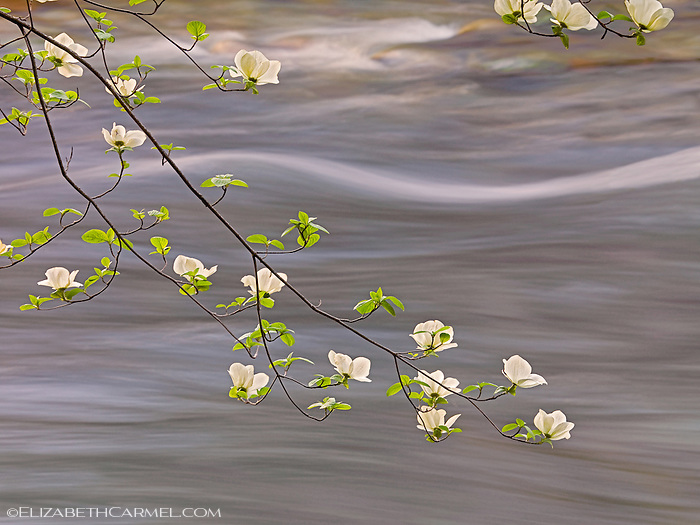 Spring Dogwood & Merced River