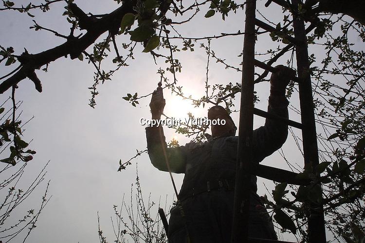 Foto: VidiPhoto..KERK AVEZAATH - Fruitteler J. A. van Veenendaal uit Buren snoeit nog ongebruikelijk laat zijn 9 hectare fruitbomen bij Kerk Avezaath. Het blad en de bloesemknoppen zitten al aan de takken. De bloesem bloeit dit jaar vroeger dan anders. Het is een 'trend' die de laatste jaren al waarneembaar was, maar dit jaar komen de knoppen wel uitzonderlijk vroeg uit. Fruittelers moeten daarom ook steeds vroeger snoeien. Niet iedereen heeft daar de tijd voor.