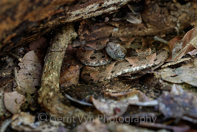 Bothrops (spp) viper. Crato, Ceará, Brazil.