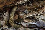 Bothrops (spp) viper. Crato, Ceará, Brazil.