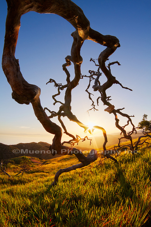 fallen Scrub Oak skeleton, Santa Catalina Island, Channel Islands, California