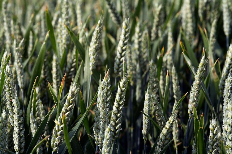 Close up of wheat ears in crop field