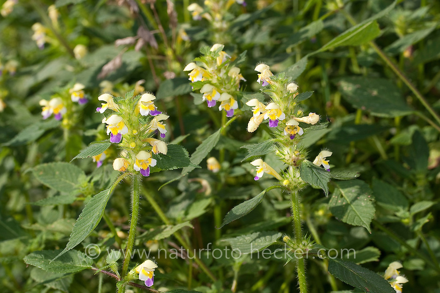 Bunter Hohlzahn, Hohl-Zahn, Galeopsis speciosa, Large-flowered Hemp Nettle