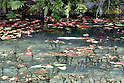 "A beautiful clear pond has been nicknamed ""Monet's Pond"" in Seki City, Gifu Prefecture, Japan. Located on the approach to Nemichi Shrine, the pond has been attracting many visitors due to its close resemblance to the pond from French Impressionist painter Claude Monet's famous ""Water Lilies"" paintings. The artificial pond is fed by spring water and very clear. It was created in 1980 and locals planted water lilies some 16 years ago and also released carp in the pond. A local tourism association set up a temporary tourist information center nearby to assist the many visitors it is attracting. A number of Monet's ""Water Lilies"" paintings are currently on display at the Tokyo Metropolitan Art Museum. (Photo by Mika Asai/AFLO)"
