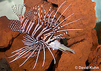 0130-1006  Lionfish Catching Fish with its Mouth, Antennata Lionfish (Broad-Banded Firefish, Spotfin Lionfish), Pterois antennata  © David Kuhn/Dwight Kuhn Photography