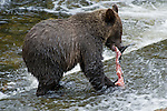 Young grizzly cub eating salmon