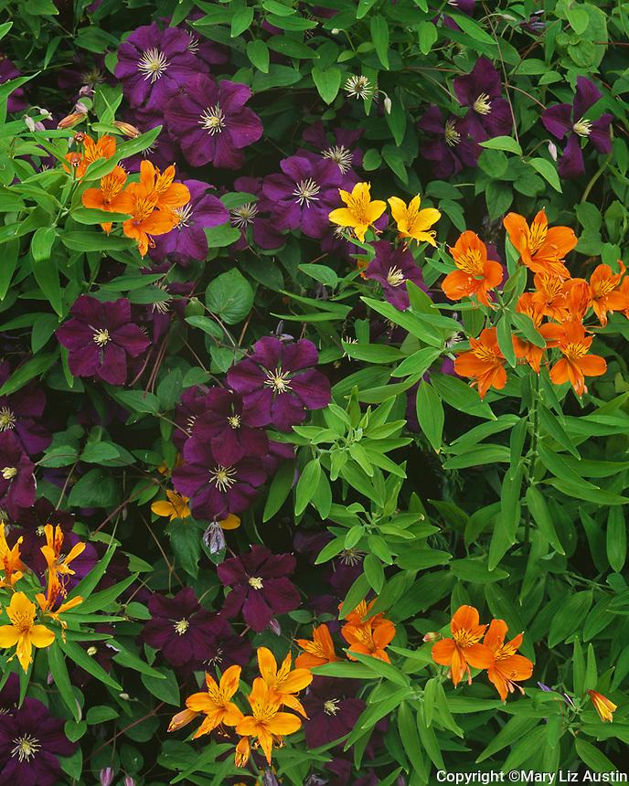 Vashon-Maury Island, WA: A detail of flowering Clematis 'Jackmanii' and Alstromeria aurea