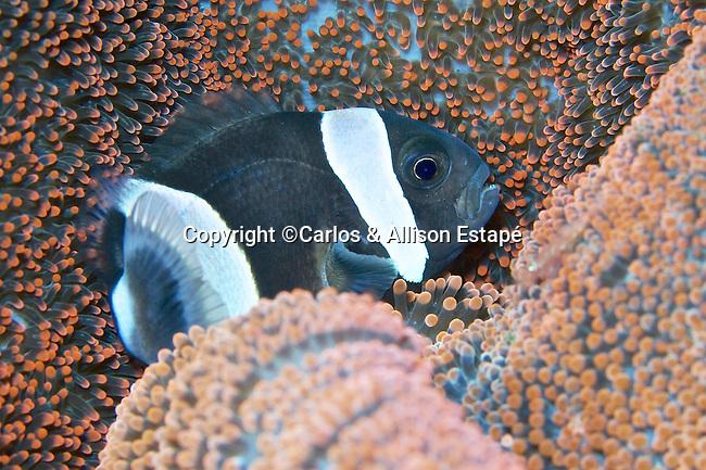Amphiprion clarkii, Clark's anemonefish, Indonesia