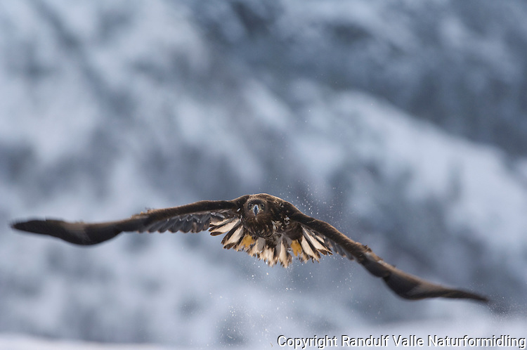 Havørn i flukt ---- White tail see eagle
