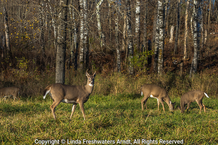 White-tailed deer feeding in a northern Wisconsin meadow.